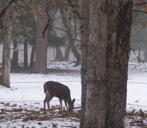 A deer searches for acorns beneath the snow