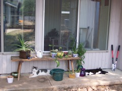 Eddie and Mehitabel lazing on the back porch