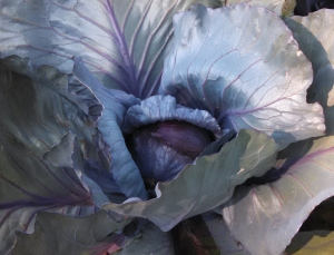 A magnificently iridescent red cabbage